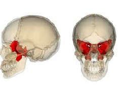 sphenoid bone, a cornerstone of health, Human Body