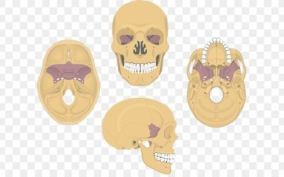 The Sphenoid Bone, A Cornerstone of Health